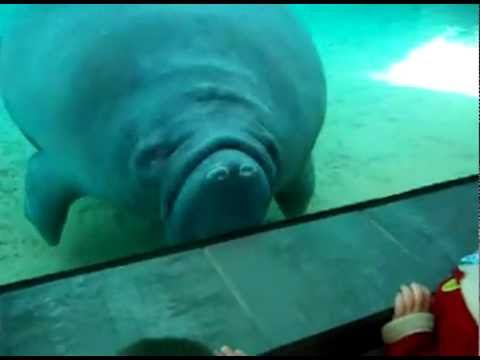 Manatee nose smush with honk sound effect