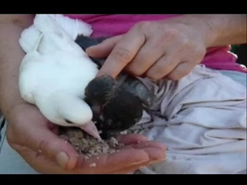 How to hand feed baby pigeons. Orphaned fantail pigeons. Pigeons paons orphelins
