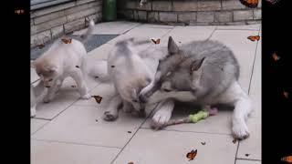 Husky Fam. 2. Muc&Co - eat&play&love
