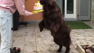 Naughty Dog Destroying Birthday Cake