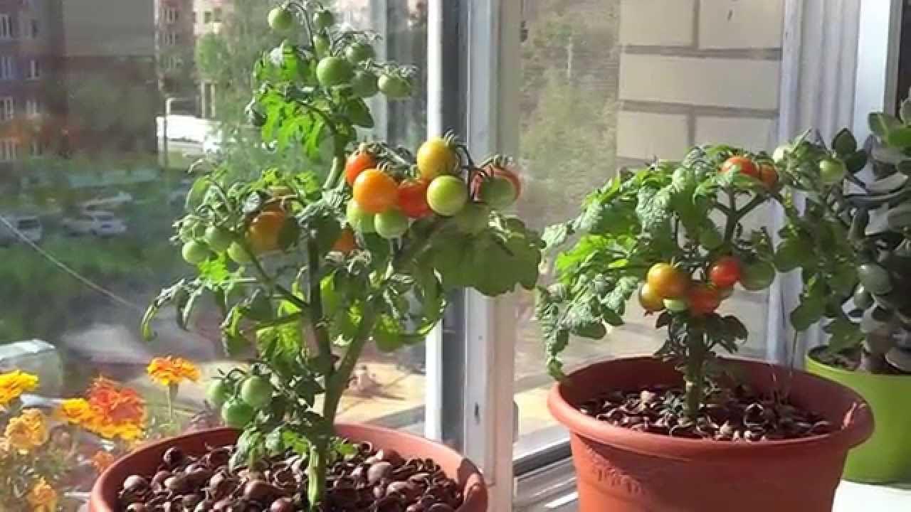 Как сажать помидоры на окне 20