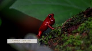 Deadly Strawberry Poison-Dart Frog?