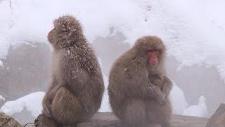 Japan's snow monkeys basking in hot springs