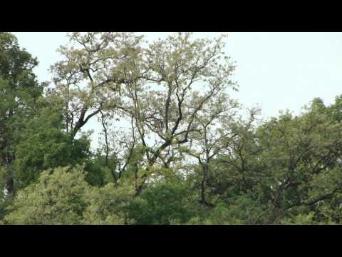 In Search Of Telia Kand Like Herbs In Hill Top. Part-147 © Pankaj Oudhia video