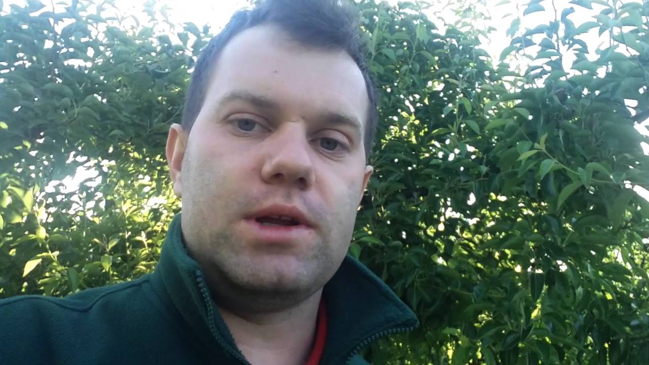 forum sadownicze, miodówka gruszowa, uprawa gruszek
