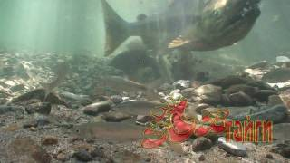 Нерест лосося. Salmon spawn. (HD)