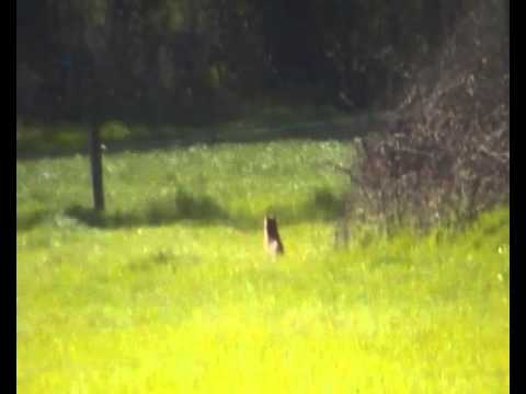 FOX CONTROL WITH A RIFLE