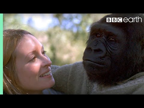 Did you know there's a talking gorilla? | #TalkingGorilla | BBC