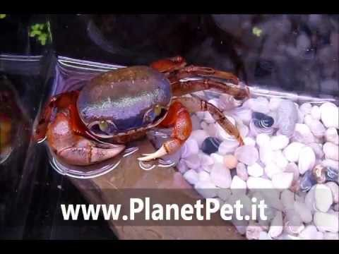 Cardisoma Amatum.MOV – www.PlanetPet.it