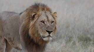 Male Lion prowling