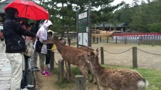 Foodie Explorers visit the deer of Nara, Japan