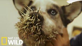 Un chien attaqué par un porc-épic