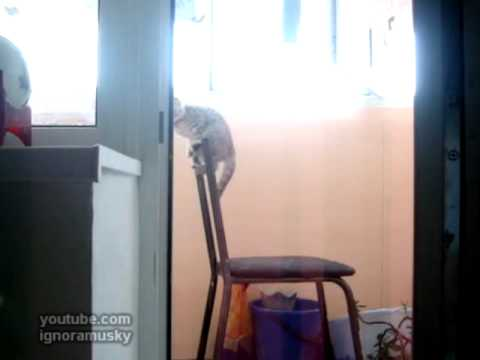 Gatos - Participando en barra fija de juegos olimpicos