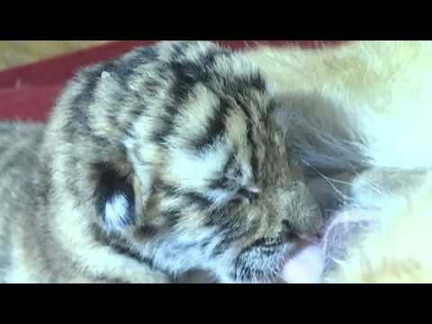 Siberian tiger gives birth to four cubs in NE China park