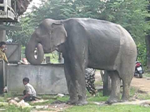 do Elephants Eat Meat Elephant Eating Banana Tree