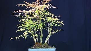 Invasive Species: Plants - Sacred Bamboo (Nandina domestica)
