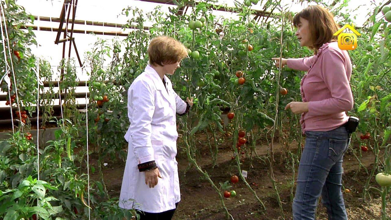 Выращивание помидор из своих семян 808