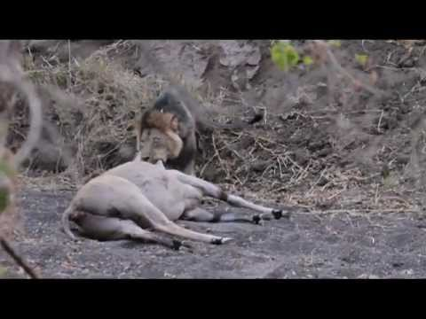 Mashatu Game Reserve - Male lion killing eland