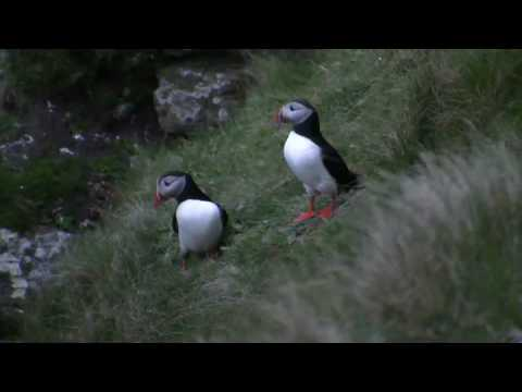 Puffin Hunting!