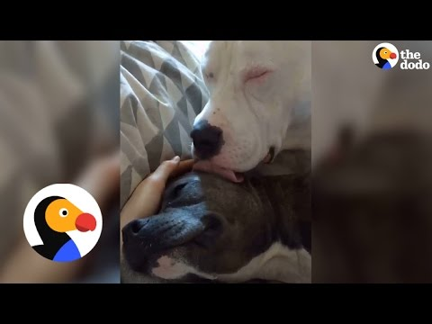 Pitbull Comforts His Sick Friend   The Dodo