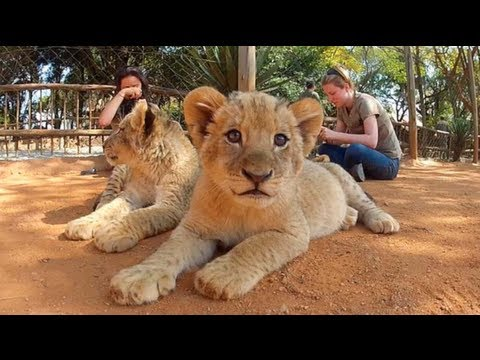 Cutest Lion Attack Ever