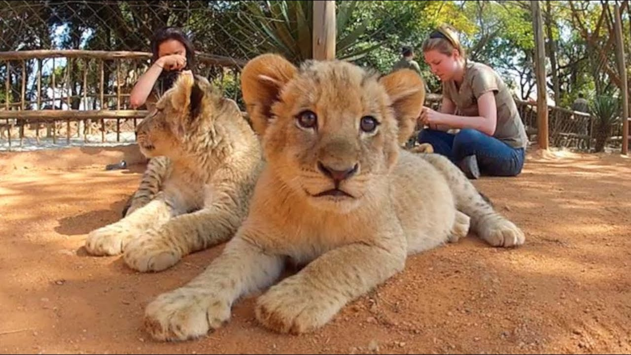 Cutest lion in the world - photo#14
