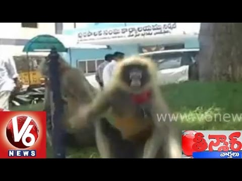 Municipal officers employs Langurs to control monkeys in Nirmal...