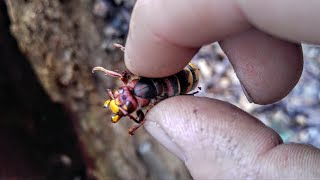 European Hornet Queen Wasp Adventures