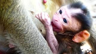 Newborn Is Male Just Born! Welcome Newborn Monkey In 2019