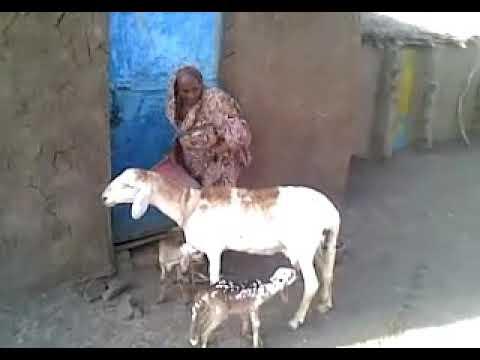 السودان  الجزيره thumbnail