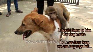 Monkey takes advantage of dog - uses him as his ride!