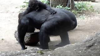"#01. Gorilla baby (7 months old) ""Riki"" and sister ""Momoka"". Ueno zoo.ゴリラの赤ちゃん(生後7ヶ月)リキと姉モモカ。上野動物園。"