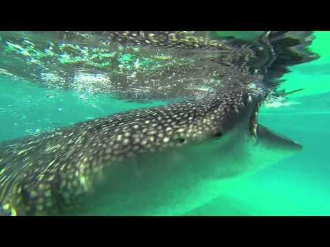 Oslob, Cebu   Snorkeling With Whalesharks