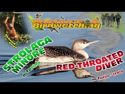 Red-Throated Diver in Turin (Italy) - Strolaga minore a Torino - un animale in difficoltà -