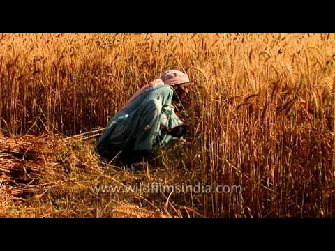 Indian farmers harvest wheat crop in a field