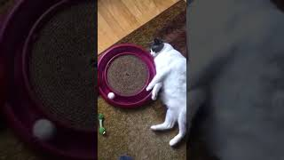 Lazy cat play with ping pong ball