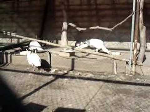 白孔雀 in 須坂市動物園