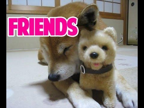 おもちゃの柴犬と柴犬まめの友情物語 きっかけはマッサージ!?