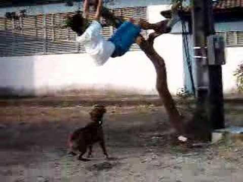 ataque de pitbull bravo