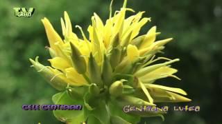 Yellow Gentian - Gele Gentiaan - gentiana lutea
