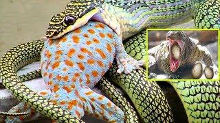 Iguanas And Lizards Vs Snakes - Lizards Steal Crocodile Eggs - Wild Animals TV