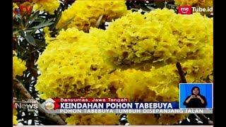 Viral dan Heboh Mirip Bunga Sakura, Purwokerto Dihiasi Pohon Tabebuya - BIS 15/10