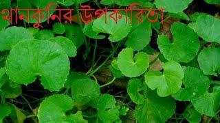যেসব রোগের মহৌষধ থানকুনি পাতা//Thankunir Osudhi Gunagun//মহৌষধ থানকুনি পাতা