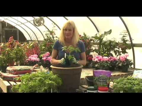White Flower Farm - How to Grow Tomatoes in a Container