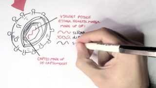 Microbiology - Viruses (Structure, Types and Bacteriophage Replication)