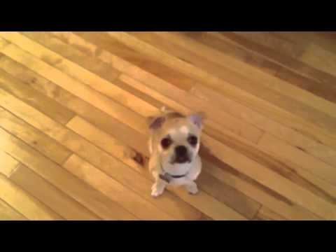 My dog leo - Chihuahua X Pug X boston terrier - YouTube