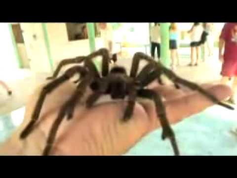 Aranha - Maior do Mundo - Tarantula (BIG SPIDER Tarantula) Music Videos