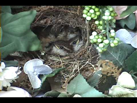 Mother Feeding Baby Birds In The Nest And Cleaning The Nest video