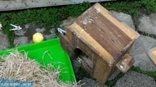 Perawatan WAJIB Burung LoveBird Biar Cepat Produksi, Setelah Cabut Anakanya