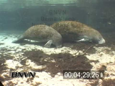 Manatees at the Three Sisters Spring in Crystal River Florida. March 2007 Part 5 of 5